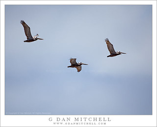 Three Pelicans, Blue Sky | by G Dan Mitchell