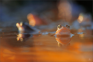 moor frogs | by Sandra Bartocha