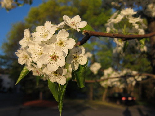White flowers on a tree | A macro photo of a small white ...