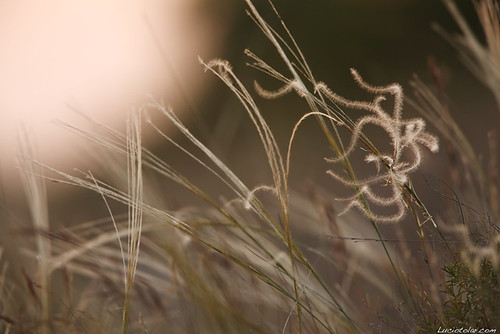 Stipa pennata , ( Feather Grass ) | by lucio.t