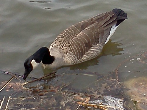 how to get rid of geese on lake