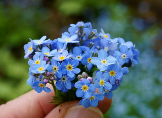 Tiny Blue Flowers | by contourone