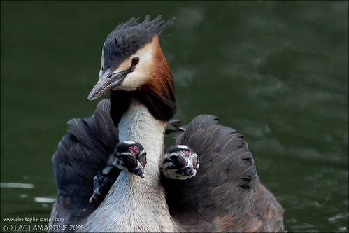 Gr bes hupp s podiceps cristatus lac lamartine roques flickr - Roque sur garonne ...