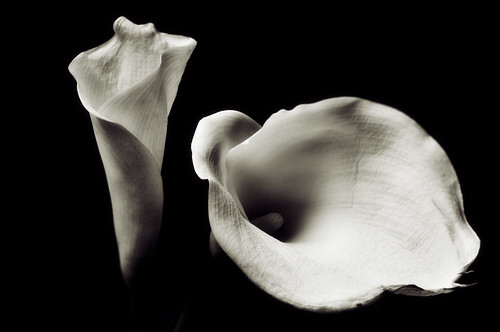 Calla Lilly #1 and #2 | by theeric11711