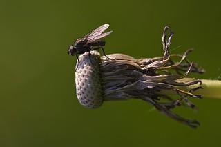mouche du chou delia radicum cabbage fly dans mon jard flickr. Black Bedroom Furniture Sets. Home Design Ideas
