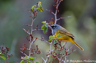 Whitethorn and a Male MacGillivray's Warbler | by BrendanMcGarry