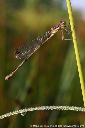 Damselfly | by Meng Lu Photography