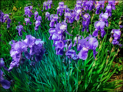 Purple Iris Rush | by Tim Noonan