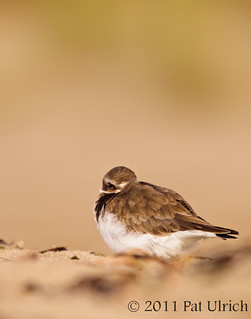 Plover at rest | by Pat Ulrich