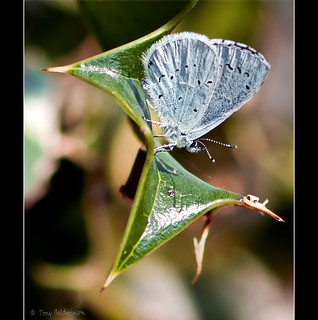 Holly Blue Butterfly. | by Saxon Lad.