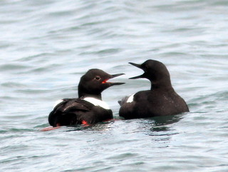 Pigeon Guillemots 20110622 | by Kenneth Cole Schneider