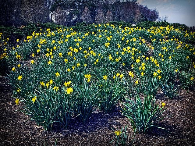 Brian_Daffodils 1_031512_2D