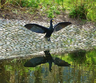 A cormorant drying his wings | by helenoftheways