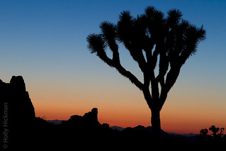 Joshua Tree at Sunset | by Holly Hickman SF
