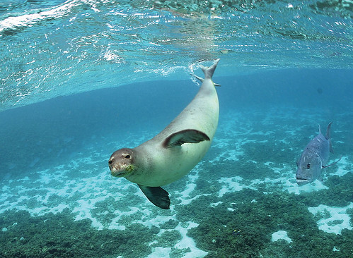 Monk Seal | by USFWS Headquarters