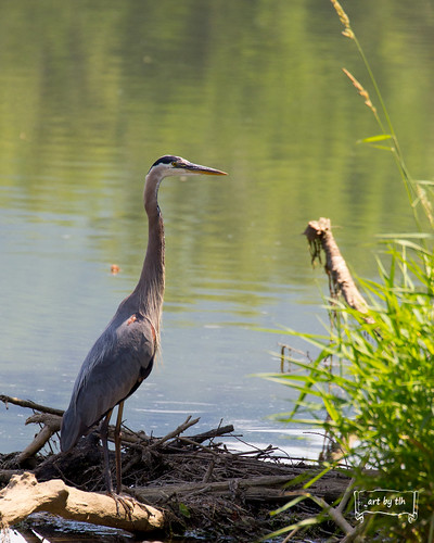 Great Blue Heron-tlh | by tracyhsays