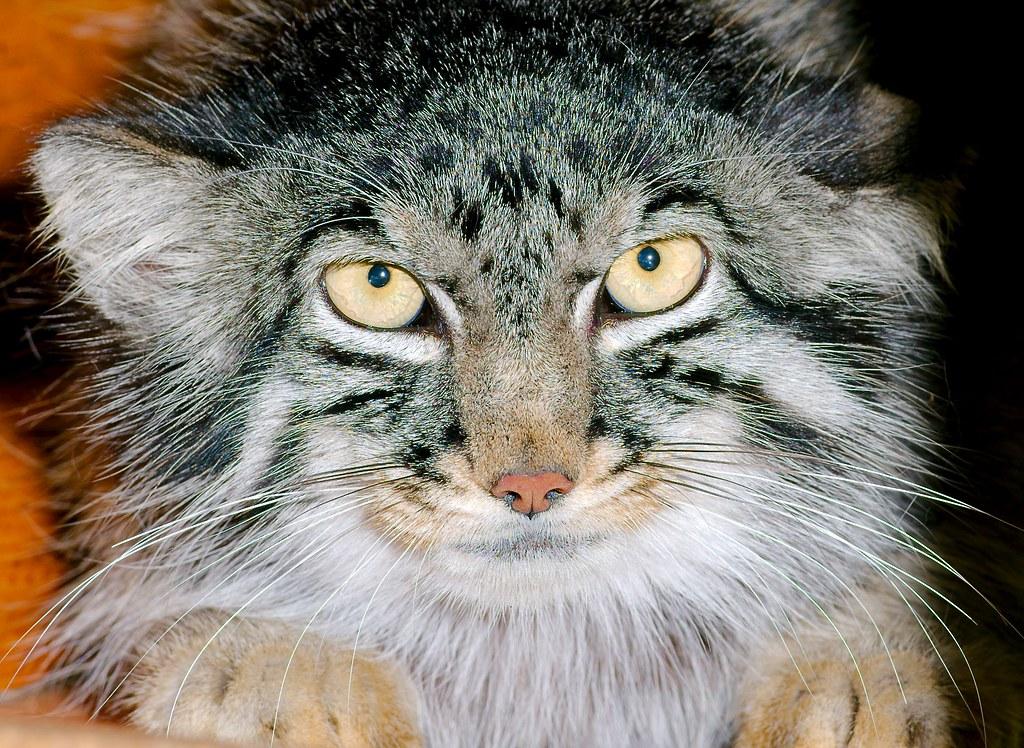 Pallas Cat_v2