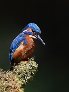 male kingfisher | by Karen Summers (kaz10)