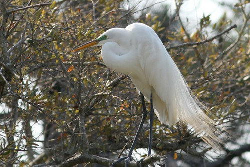 Great Egret | by JanUpClose