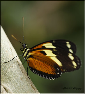 TROPICAL BUTTERFLY | by Shaun's Photographic World.
