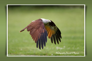 The Brahminy Kite | by danob2
