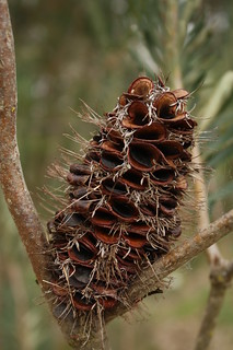 Banksia cone | by Mundoo