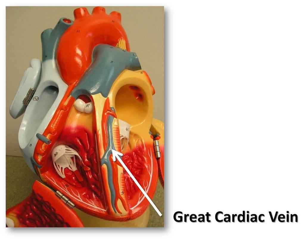 Great Cardiac Vein The Anatomy Of The Heart Visual Atlas Flickr