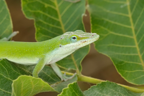 Male Anole at Brushy Creek:  Round Rock, TX | by motleypixel
