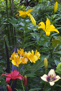 Lily flowers of early summer | by Four Seasons Garden