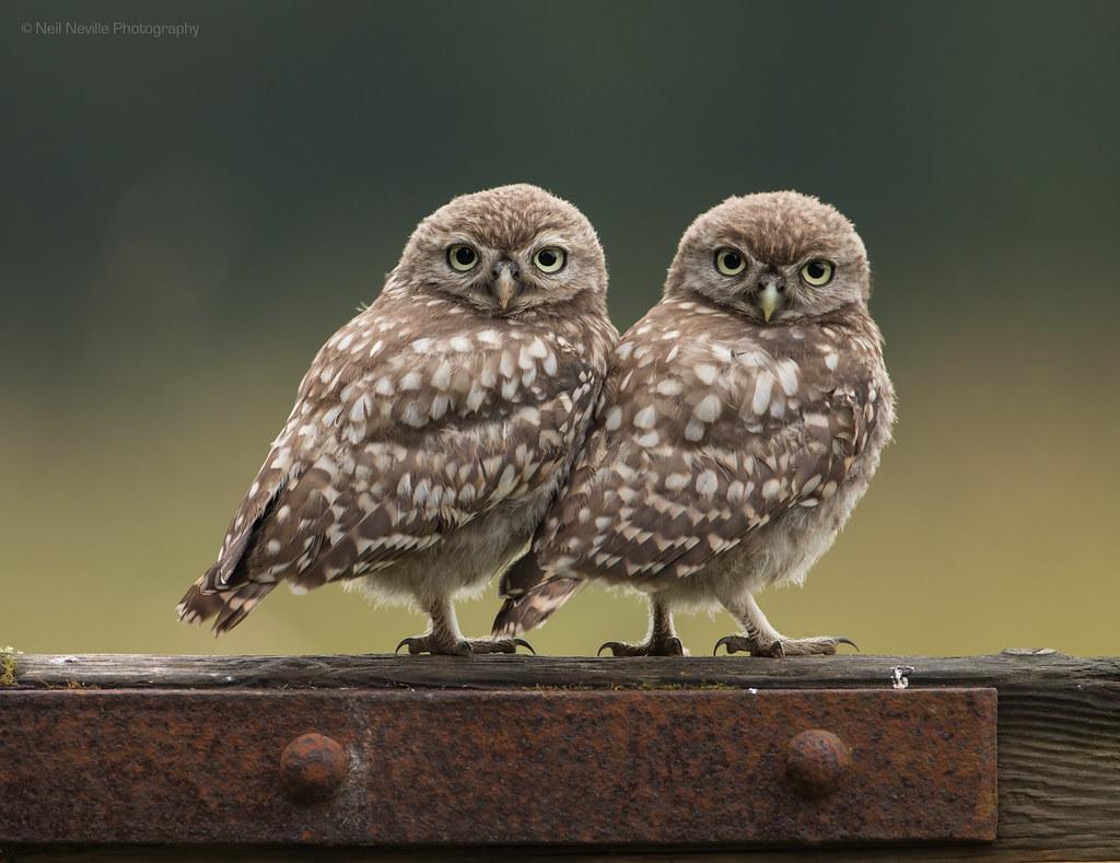 little owl owlet pair pair of wild little owl owlets www flickr