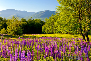 Notch Lupine | by Jeff Newcomer