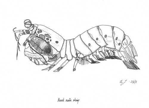 Peacock mantis shrimp Drawing