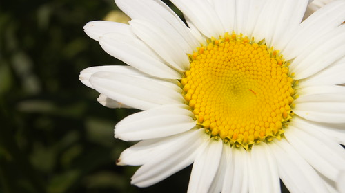 Daisy | by Brooklyn Botanic Garden
