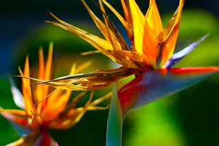 bird of paradise | by Ariya Hidayat