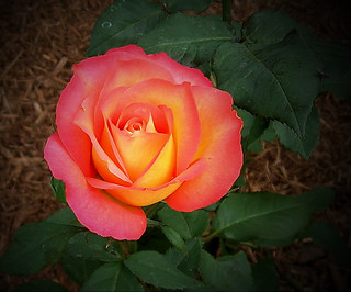 Rose - color | by Keri Dykstra -- BUSY