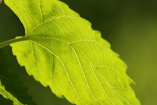 Under leaf (SOOC) | by AndyM.