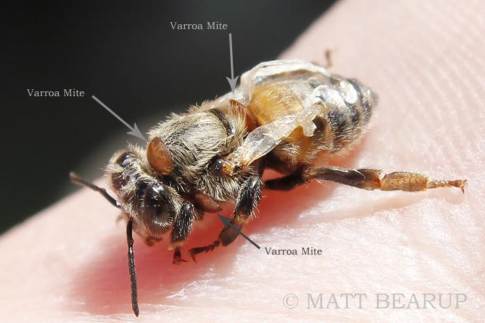 Pszczoła ze zdeformowanymi skrzydełkami
