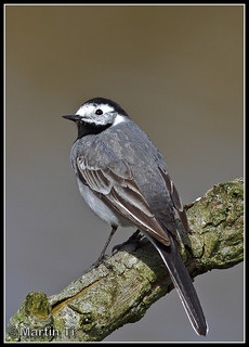 Witte Kwikstaart (Motacilla alba) / White Wagtail | by Martin Ti