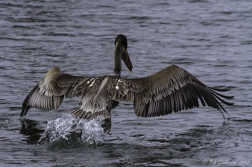 Brown Pelican | by Bob Gunderson