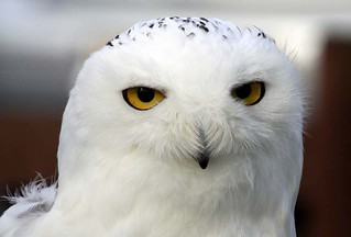 Close-Up of a Snowy Owl | by JDPhotography -
