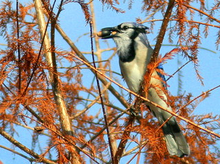 Blue Jay with acorns 20110105 | by Kenneth Cole Schneider