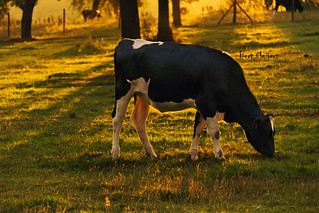 Grazing in the sunset | by thanks for 800k views