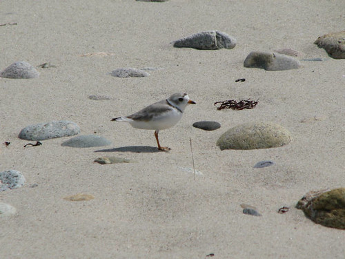 Piping plover sandwich ma credit susi von oettingen for Mass fish and wildlife