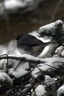 Junco in a Spruce Tree_4148 | by Bobolink