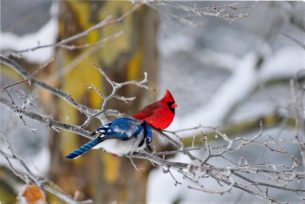Bluejay N Cardinal This Was Not Handheld But A Nice Shot Flickr