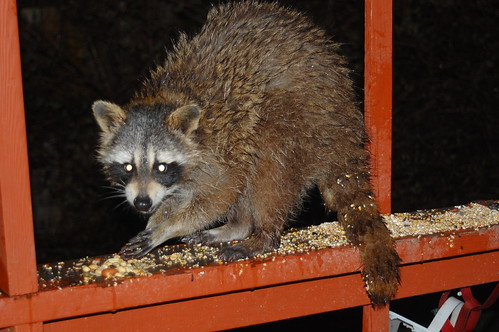 Backyard raccoon!
