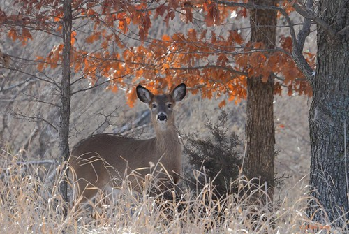 whitetail doe | by starc283