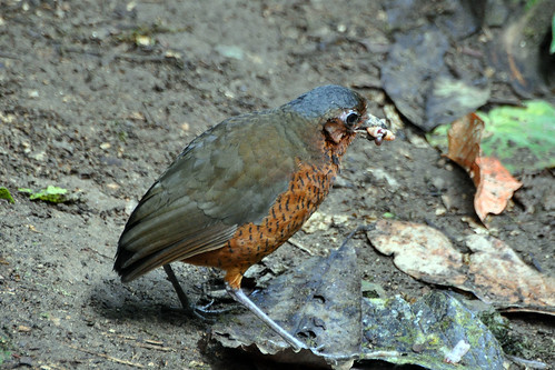Giant Antpitta | by don r faulkner