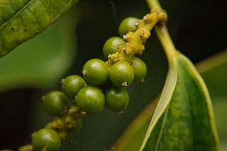 Peppercorns | by goingslowly