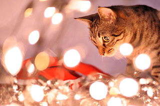 My Cats Are Playing With Christmas Lights | by E.L.A